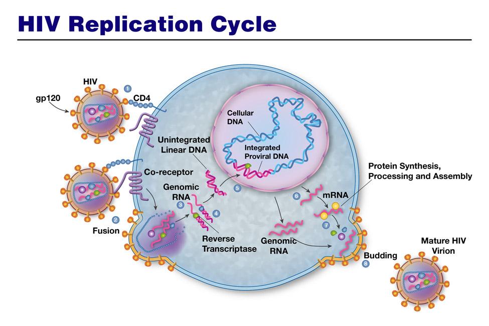 2HIV-replication-cycle
